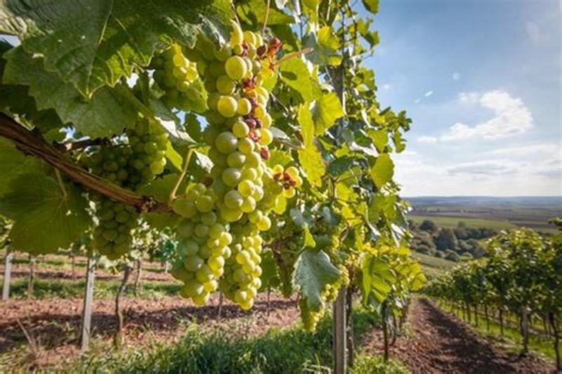 Bolgheri - Azienda vitivinivola con vigneti Bolgheri DOC in vendita Rif. 5830678